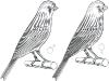 коричневая канарейка
