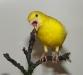 желтый кенар
