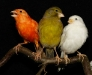 разноцветные канарейки