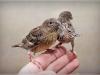 птенцы канареек