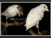 белые канарейки
