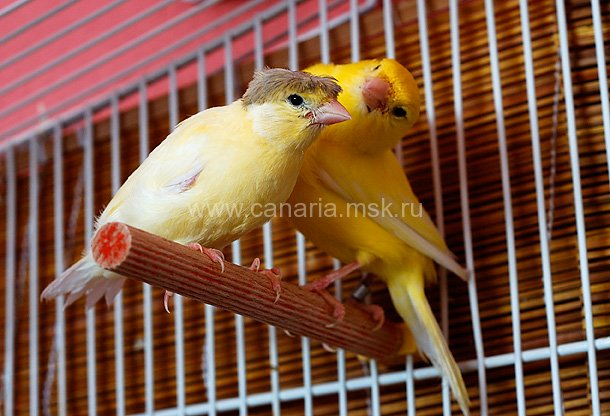 Ее ближайший родственник природе обычная птица.  Pyrrhula canariusэнциклопедия домашних птиц и фото простенькое.