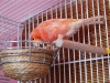 канарейка на гнезде